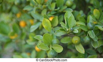 Citrofortunella microcarpa calamondin . Natural background...