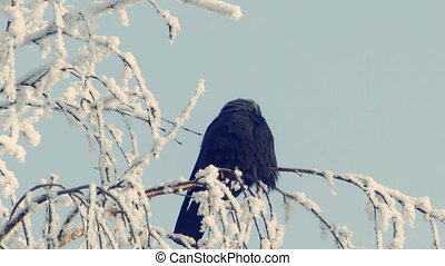 Jackdaw sits on a snow-covered branch against the blue sky 1