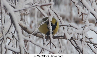 Titmouse on a snow-covered branches of a tree. Tit pecking...