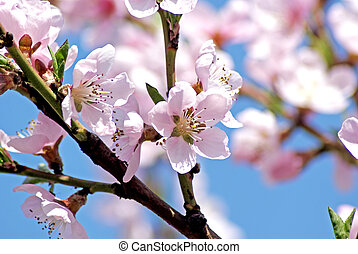 Blossoming peach. Flowering white tree