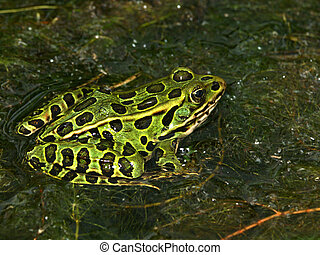 Northern Leopard FrogRana pipiens - Northern Leopard Frog...