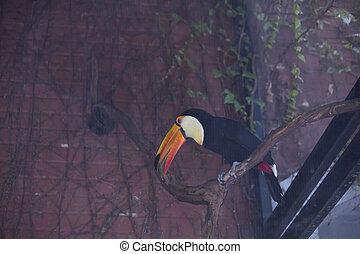 Toco Toucan - Close up of a toco toucan (Ramphastos toco)
