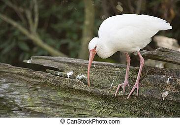 White Ibis - White ibis (Eudocimus albus) on a log