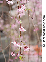 Weeping cherry tree - Weeping cherry