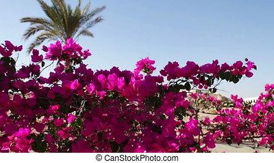 flowering bush Egypt - Beautiful lush flowering rose bushes...