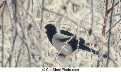 Magpie sits on a snowy tree branch and biting the bark 3
