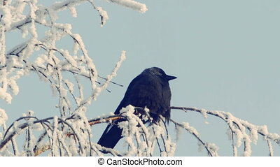 Jackdaw sits on a snow-covered branch against the blue sky 2