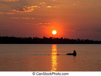 Hyppo at sunset - Hyppo in Chobe National park reserve,...