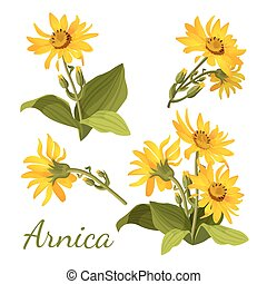 Arnica floral composition. Set of flowers with leaves, buds...