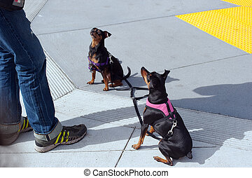 well behaved minature doberman pinchers - two dogs listening...