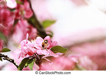 Honey Bee and Crab Apple Tree - Close up of a honey bee...