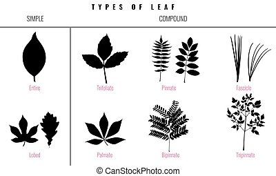 Set of Leaf types infographics. Silhouette Vector - Leaf...