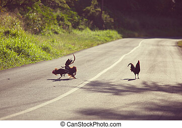 Cock fight - cockfighting