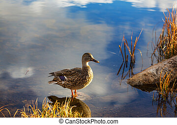 Duck - Amazing mallard duck on mountains lake