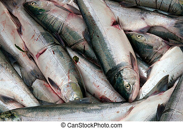 Several freshly caught sockeye salmon wating to be sold