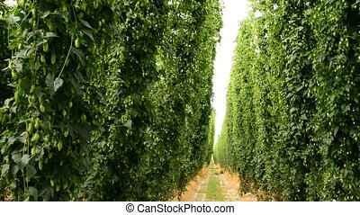 Rows of ripe hop cones on the field - Very slightly zoom in...