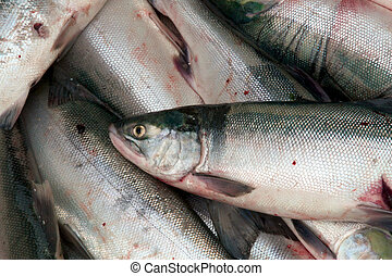 Close up of a fresh sockeye salmon - Close up of a freshly...