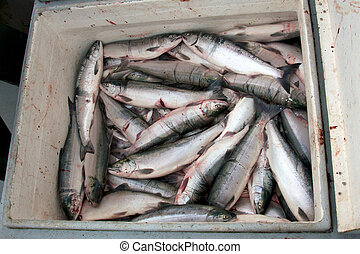 Dozens of fresh sockeye waiting for market - Dozens of...