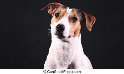Jack Russell terrier look at the camera - Smart Jack Russell...