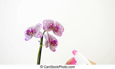 hands spraying flower - Hand sprinkles beautiful orchid on...
