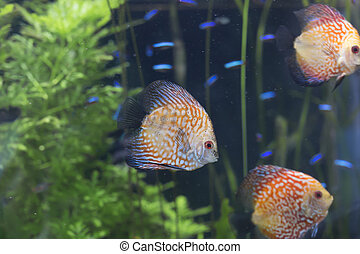 Orange Pigeon Blood Discus Fish (Symphysodon Discus)