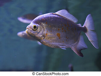 Red-Bellied Piranha - Close up of a red-bellied piranha...