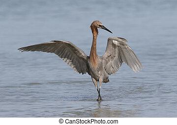 Reddish Egret foraging in a Florida tidal pool - Reddish...