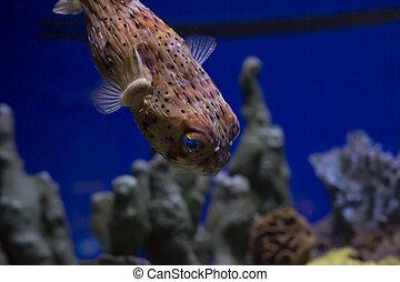 Pufferfish - Close up of a pufferfish