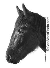Wild Mustang Horse head isolated over white background.