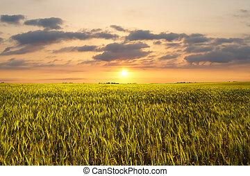 pôr do sol, trigo, campo