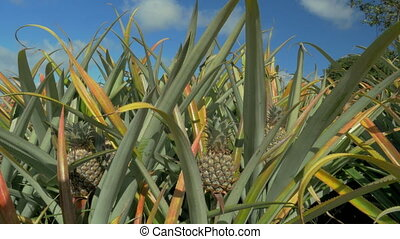 View of pineapple plants farm in summer season against blue...