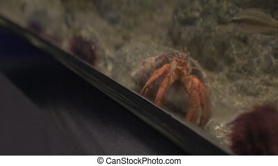 Taking cell photo of soldier crab in aquarium - Close-up...