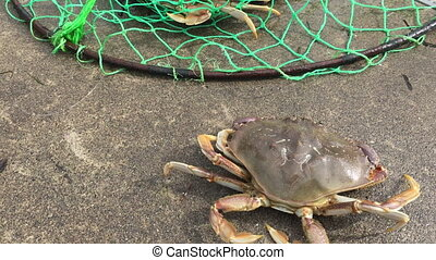 Dungeness Crab - Crab running away close-up