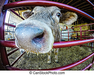 funny cow behind fence at the farm