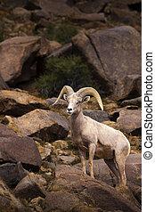 sheep, grande, solo, cuerno, carnero, macho