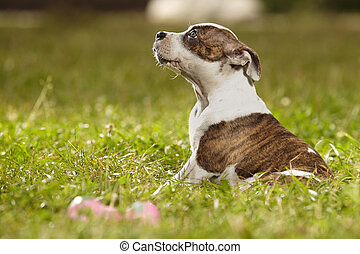 Puppy of Staffordshire bull terrier sitting in park - Baby...