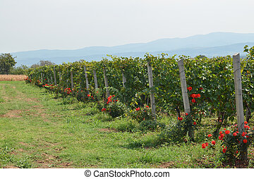 Red Grapes and Roses - Vineyard of red grapes decorated with...