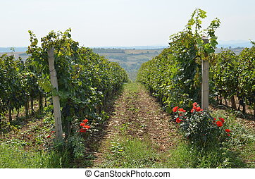 Lush Vineyard and Roses - Vineyard of red grapes decorated...