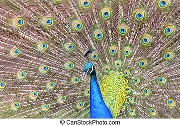 Beautiful peacock tail of disclosed. - Beautiful peacock...