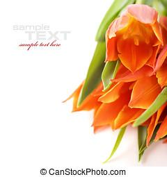 tulips - Orange tulips on white background (with sample...