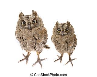 Two European scops owl on  white background