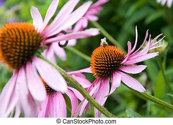 purple cone flower - Echinacea purpurea flowers in a rural...