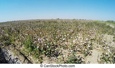 Fields of Cotton Uzbekistan,Landscape in a sunny day