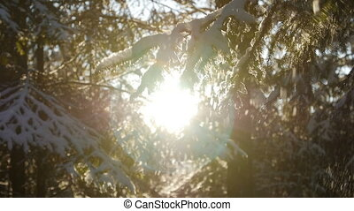 Fir tree covered with snow under morning sunbeams. Beautiful...