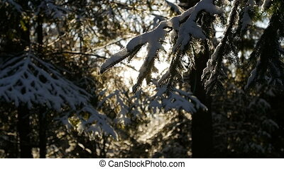 Fir tree covered with snow under morning sunbeams. Slow...
