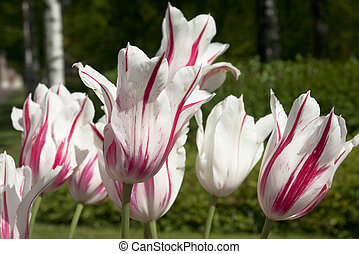 White tulips with pink stripes