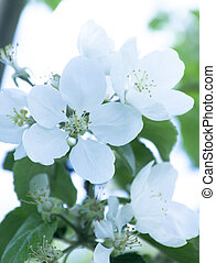 Apple blossom on blue sky background