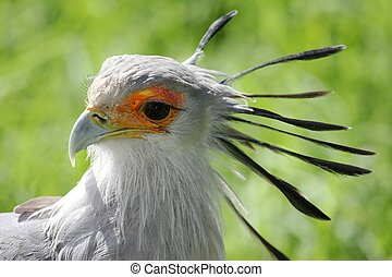 Secretary Bird - Portrait of a pretty Secretary Bird of prey...