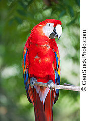 Red ara parrot - Close up of red ara parrot head in tropical...