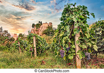 Predappio, Emilia Romagna, Italy: vineyard for wine...